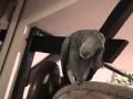 Daj buziaka - papuga