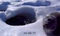 Niezdecydowana foka