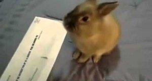 Utalentowany królik
