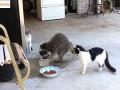 Szop podkrada jedzenie kotom