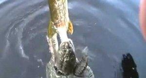 Żółw zaatakował rybę