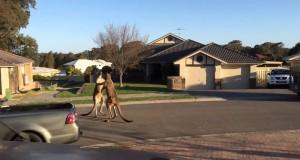 Uliczna bójka w Australii