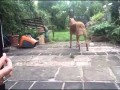 Pies, który akompaniuje do akordeonu