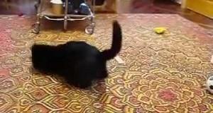 Gronostaj walczy z kotem