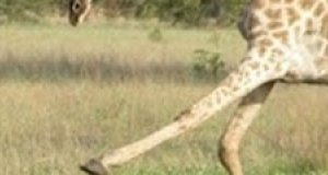 Żyrafa goni ludzi