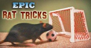 Niesamowite sztuczki wykonywane przez szczury