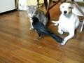 Wrona dokarmia kota i psa.