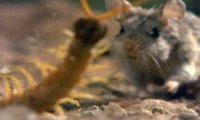 Mysz broni młodych przed skolopendrą