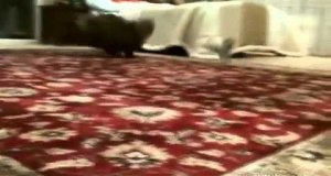 Mały pies wkurza grubego kocura