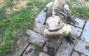 Oswojony legwan, który zachowuje się jak pies