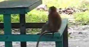 Małpy złodzieje