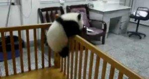 Panda ucieka z łóżeczka w przedszkolu