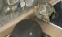 Szalony żółw