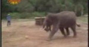 Słoń piłkarski