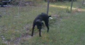Pies sika na płot pod napięciem
