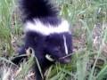 Zaprzyjaźniony skunks