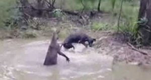 Kangur próbuje utopić psa