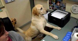 Pies jako pomocnik biurowy