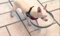 Niewidomy pies ze zderzakiem