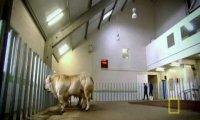 Krowy po sterydach