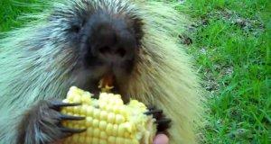Jeżozwierz rozmawia przy jedzeniu