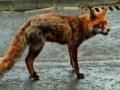 Pies ratuje kota przed lisem terminatorem