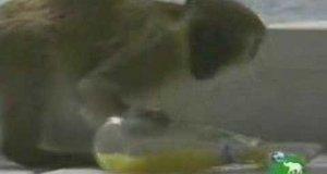 Pijące małpy