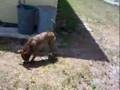 Psie salto