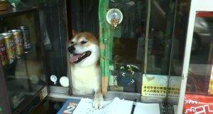 Pieseł pracujący w kiosku