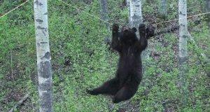 Niesamowicie uparty niedźwiedź