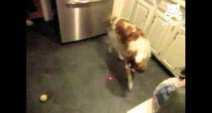 Pies sam się bawi laserem