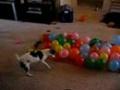 Pies i balony