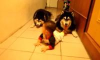 Dwa psy raczkują razem z dzieckiem