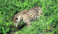 Jaguar w akcji - czyli niespodzianki natury