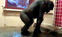 Goryl na parkiecie