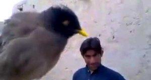 Ptak naśladuje płacz dziecka