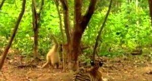 Tygrysy & Małpa