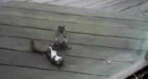 Walka wiewiórek