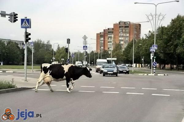 Krowa na ulicy