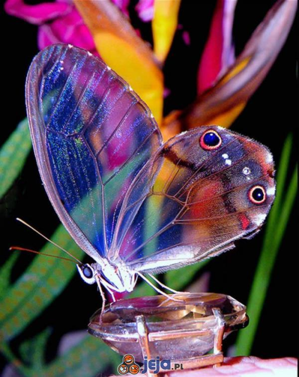 Niesamowity motyl amber phantom
