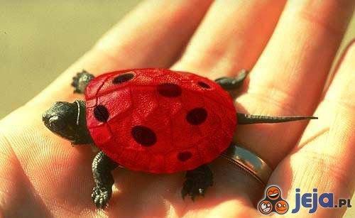 Czerwony żółwik