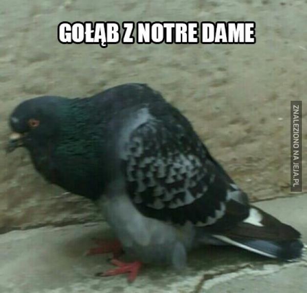 Gołąb z Notre Dame