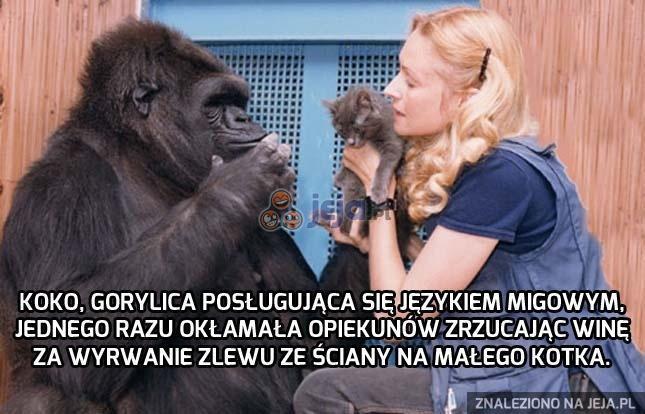 Najbardziej ludzki goryl?