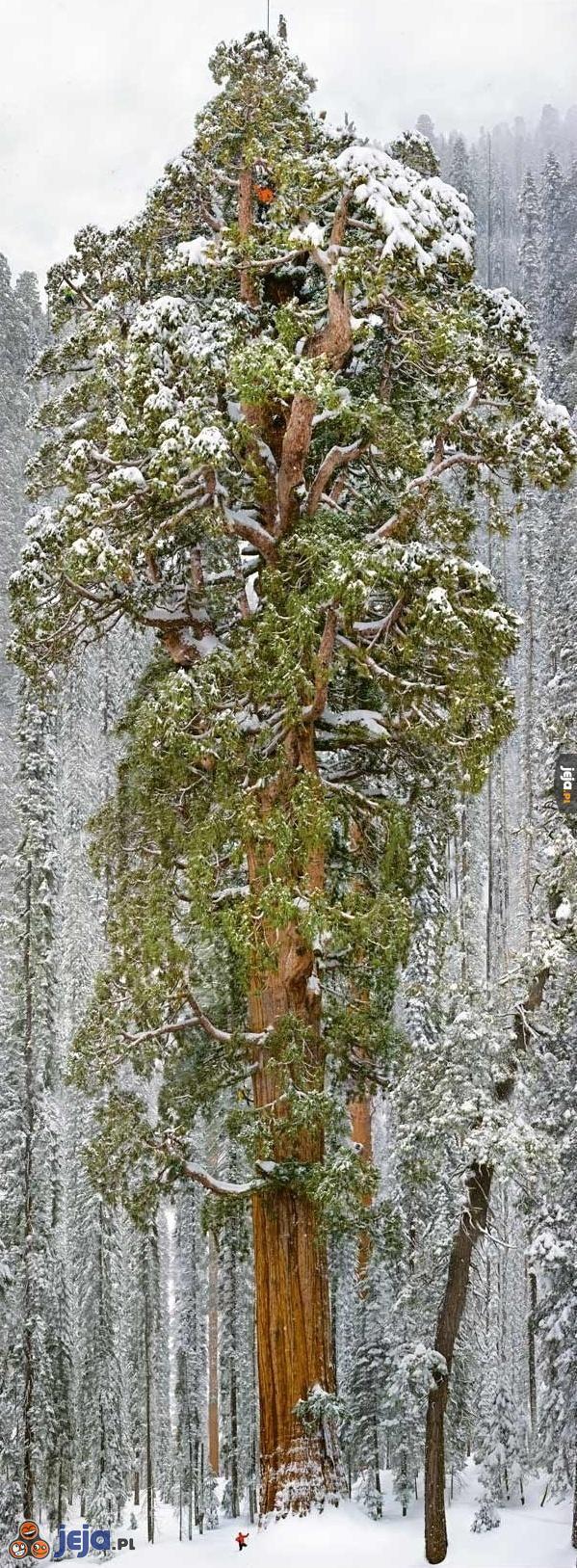 Największe żyjące drzewo świata