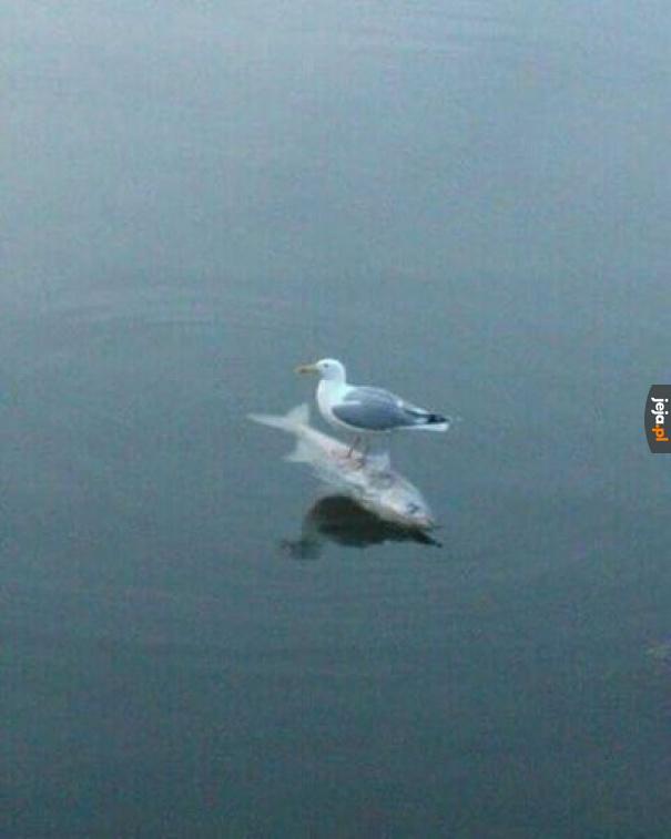 Mewa na rybie