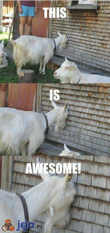 Kozie rozrywki