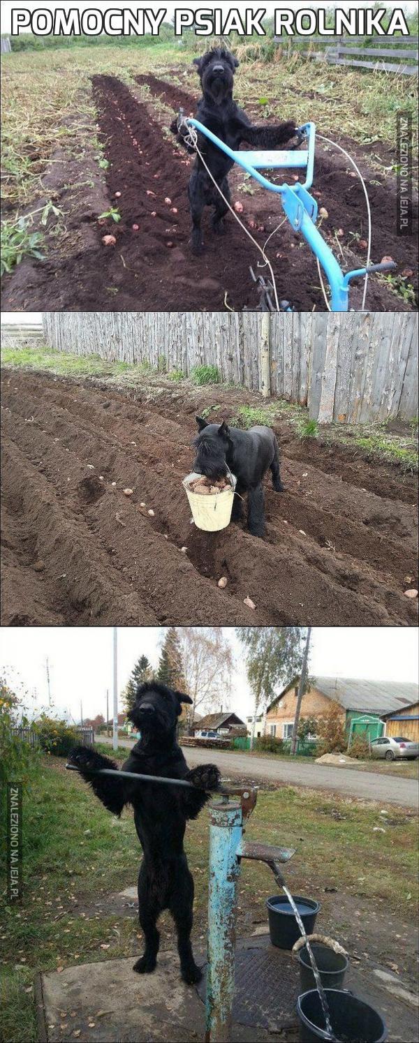 Pomocny psiak rolnika