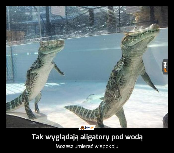 Tak wyglądają aligatory pod wodą