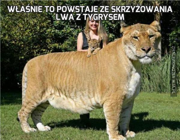 Właśnie to powstaje ze skrzyżowania lwa z tygrysem