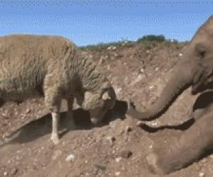 Nowi przyjaciele: owca i słoń